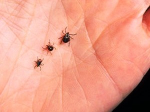 The black-legged nymph tick is most likely to spread Lyme Disease. The nymph can be as small as a poppy seed.