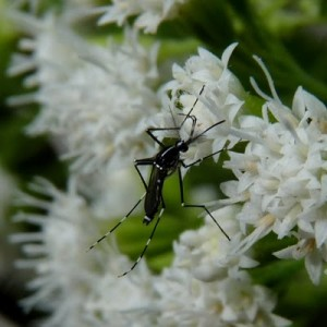 Asian tiger mosquito on flower in Central Mass.