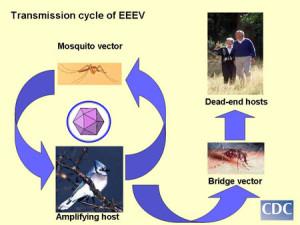 EEE_Mosquito_borne_Central_MA_CDC
