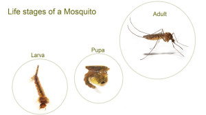 mosquito-life-cycle-central-mass-mosquito-control