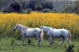 Horses-most-often-die-from-EEE-virus